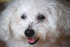Retrato do Cão-Um de Bichon Frise Imagem de Stock Royalty Free