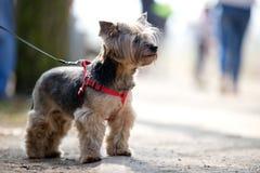 Retrato do c?o do yorkshire terrier imagem de stock royalty free
