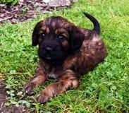 Retrato do cachorrinho Fotos de Stock