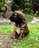 Retrato do cachorrinho Fotografia de Stock Royalty Free