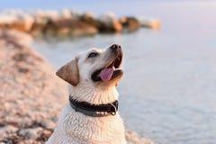 Retrato do cachorrinho branco do perdigueiro na língua do whit da praia para fora da cara parva fotografia de stock