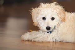 Retrato do cachorrinho da Maltês-caniche imagens de stock