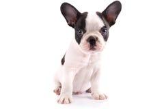 Retrato do cachorrinho do buldogue francês Fotografia de Stock