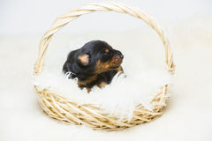 Retrato do cachorrinho do doberman de 10 dias Imagens de Stock Royalty Free