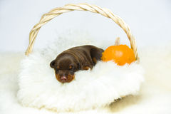 Retrato do cachorrinho do doberman de 10 dias Foto de Stock