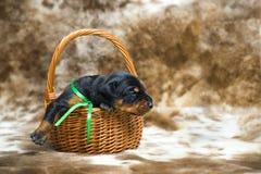 Retrato do cachorrinho do doberman de 10 dias Fotografia de Stock Royalty Free