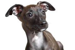 Retrato do cachorrinho do galgo italiano imagem de stock