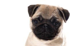 Retrato do cachorrinho do Pug Imagem de Stock Royalty Free