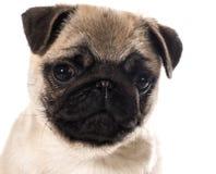Retrato do cachorrinho do Pug Fotografia de Stock