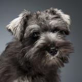 Retrato do cachorrinho do Schnauzer em um fundo escuro do estúdio Imagem de Stock