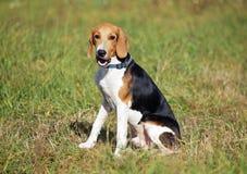 Retrato do cachorrinho estônio do cão Imagem de Stock Royalty Free