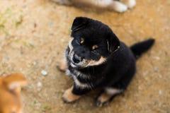 Retrato do cachorrinho preto e bronzeado bonito do inu do shiba que senta-se fora na terra e que olha à câmera imagem de stock