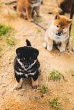 Retrato do cachorrinho preto e bronzeado bonito do inu do shiba que senta-se fora na terra e que olha à câmera fotos de stock royalty free