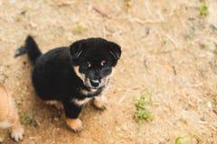 Retrato do cachorrinho preto e bronzeado bonito do inu do shiba que senta-se fora na terra e que olha à câmera imagens de stock