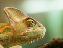 Retrato do camaleão da cabeça do cone - calyptratus de Chameleo Foto de Stock