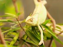 Retrato do camaleão da Cone-cabeça no ramo com folhas - calyptratus de Chameleo Fotografia de Stock Royalty Free