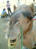 Retrato do camelo Foto de Stock Royalty Free