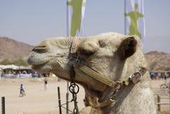 Retrato do camelo Fotos de Stock Royalty Free