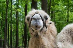 Retrato do camelo contra o fundo verde das árvores Fotografia de Stock Royalty Free