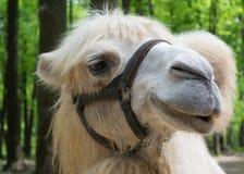 Retrato do camelo contra o fundo verde das árvores Imagens de Stock