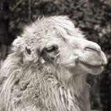 Retrato do camelo (sepia do vintage disparado) Foto de Stock Royalty Free