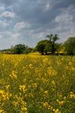 Retrato do campo rapseseed em Inglaterra com árvores e nuvens de tempestade que constroem no fundo imagens de stock
