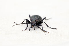 Retrato do cancellatus de Carabus dos besouros à terra Imagem de Stock Royalty Free