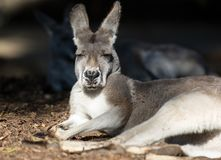 Retrato do canguru australiano com os olhos marrons brilhantes grandes que olham o close-up na câmera e os olhares como um chefe  imagens de stock royalty free