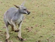 Retrato do canguru de assento na natureza fotos de stock royalty free