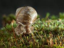 Retrato do caracol no musgo imagem de stock