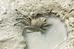 Retrato do caranguejo de aranha Fotografia de Stock