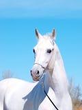Retrato do cavalo árabe branco Fotos de Stock Royalty Free