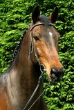 Retrato do cavalo foto de stock royalty free