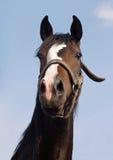 Retrato do cavalo bonito Imagem de Stock