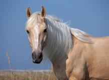 Retrato do cavalo bonito do palomino Fotografia de Stock