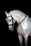Retrato do cavalo branco Fotos de Stock Royalty Free