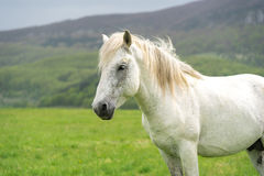 Retrato do cavalo branco e um fundo da natureza Fotografia de Stock