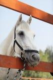Retrato do cavalo branco na exploração agrícola Imagens de Stock