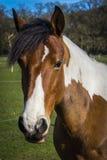 Retrato do cavalo colorido Foto de Stock Royalty Free