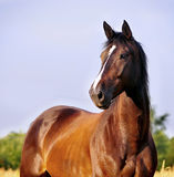 Retrato do cavalo de baía Imagem de Stock Royalty Free