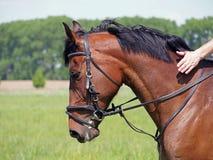 Retrato do cavalo de baía da raça ostentando Imagens de Stock