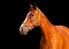 Retrato do cavalo de baía em um fundo preto Fotografia de Stock