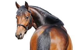 Retrato do cavalo de baía isolado no branco Fotografia de Stock Royalty Free