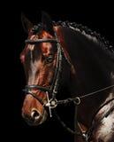 Retrato do cavalo de baía isolado no preto Imagem de Stock Royalty Free