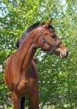 Retrato do cavalo de baía novo Foto de Stock Royalty Free