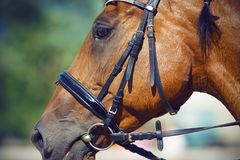 Retrato do cavalo de baía, vestido para o adestramento no freio imagens de stock royalty free