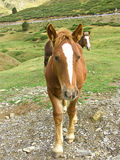 Retrato do cavalo de Brown Fotografia de Stock Royalty Free