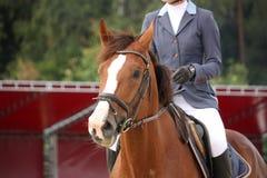 Retrato do cavalo de Brown com freio Imagens de Stock