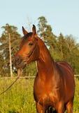 Retrato do cavalo de louro agradável Fotos de Stock