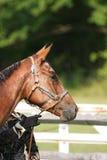 Retrato do cavalo de um quarto de Georgeous Imagens de Stock Royalty Free